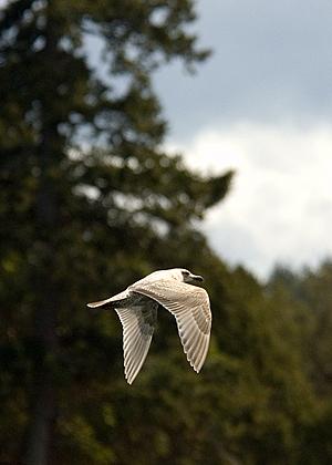 Gull Wing