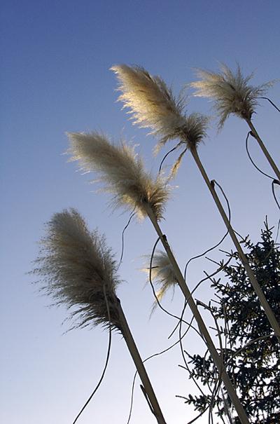 Pompous Grass