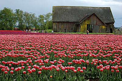 The Tulip Barn